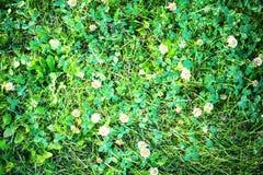 Campo do fundo de florescência do verão do trevo branco Imagens de Stock