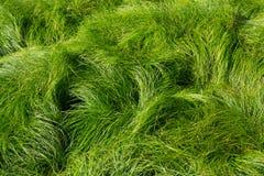 Campo do fundo do sopro da grama verde no vento imagem de stock