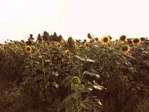 Campo do girassol Foto de Stock