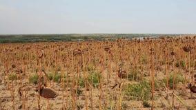 Campo do girassol afetado pela seca vídeos de arquivo