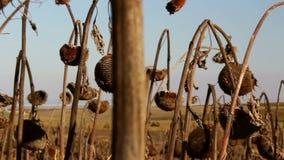 Campo do girassol afetado pela seca video estoque