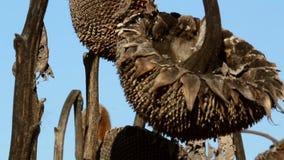Campo do girassol afetado pela seca filme