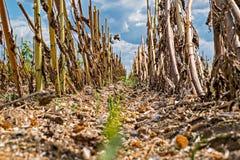 Campo do girassol após a colheita foto de stock