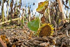 Campo do girassol após a colheita foto de stock royalty free