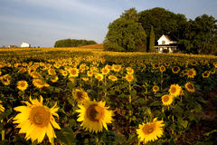 Campo do girassol com casa da quinta Imagem de Stock Royalty Free