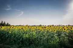 Campo do girassol de Kansas Imagem de Stock Royalty Free