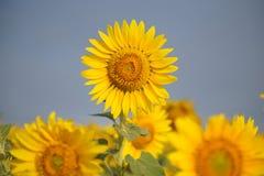 Campo do girassol do verão Imagem de Stock Royalty Free