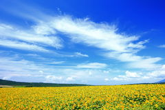 Campo do girassol do verão Imagens de Stock