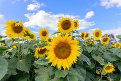 Campo do girassol durante o dia brilhante com céu azul Fotografia de Stock