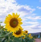 Campo do girassol durante o dia brilhante com céu azul Imagem de Stock Royalty Free