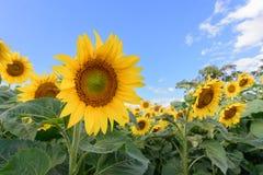 Campo do girassol durante o dia brilhante com céu azul Fotografia de Stock Royalty Free