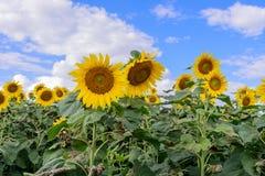 Campo do girassol durante o dia brilhante com céu azul Fotos de Stock