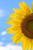 Campo do girassol durante o dia brilhante com céu azul Imagens de Stock Royalty Free