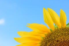 Campo do girassol durante o dia brilhante com céu azul Fotos de Stock Royalty Free