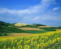 Campo do girassol em Italy imagem de stock royalty free
