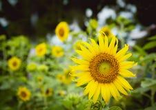 Campo do girassol Jardim dos girassóis Os girassóis têm abundante Fotografia de Stock Royalty Free