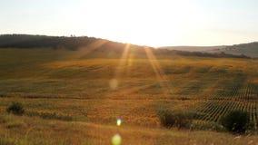 Campo do girassol no por do sol video estoque