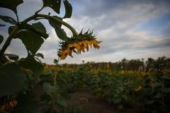 Campo do girassol no por do sol na região de Krasnodar fotos de stock