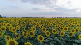 Campo do girassol, opinião do zangão sobre plantas de florescência amarelas no fundo do céu filme