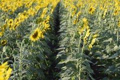 Campo do girassol Girassol que cresce no campo flor foto de stock royalty free