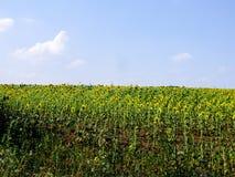 Campo do girassol do verão Fotografia de Stock