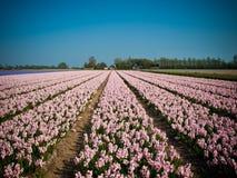 Campo do Hyacinth Fotos de Stock Royalty Free