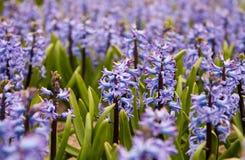 Campo do jacinto nos Países Baixos Imagens de Stock Royalty Free