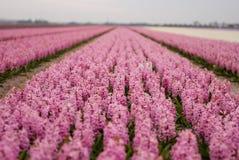 Campo do jacinto nos Países Baixos Foto de Stock