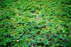 Campo do lírio de água Imagem de Stock