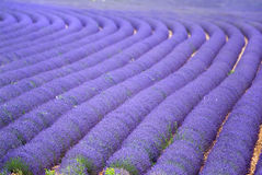 Campo do lavander de Provance Fotografia de Stock Royalty Free