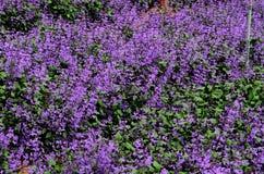 Campo do lilás roxo e flores e botões verdes da alfazema Foto de Stock