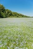 Campo do linho de florescência Fotos de Stock