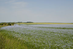 Campo do linho no lanscape. Foto de Stock