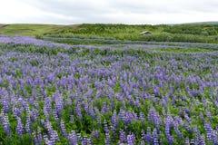Campo do Lupine em Islândia fotografia de stock