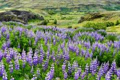 Campo do Lupine em Islândia imagem de stock