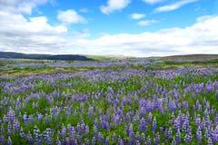 Campo do Lupine em Islândia imagem de stock royalty free