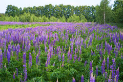 Campo do lupine roxo Fotografia de Stock Royalty Free