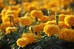 Campo do Marigold Fotografia de Stock Royalty Free