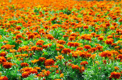 Campo do Marigold Fotografia de Stock