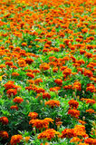 Campo do Marigold Foto de Stock
