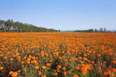Campo do marigold do outono Imagens de Stock Royalty Free