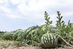 Campo do melão com os montões de melancias maduras no verão fotografia de stock royalty free