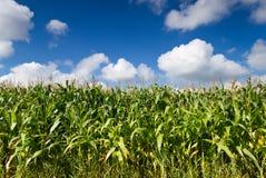 Campo do milho Fotografia de Stock Royalty Free