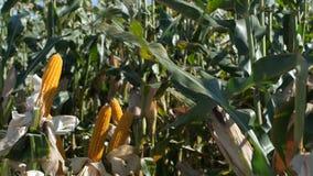 Campo do milho Ascendente próximo do milho vídeos de arquivo