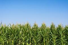 Campo do milho ou de milho que cresce acima no céu azul Fotografia de Stock Royalty Free