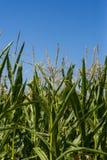 Campo do milho ou de milho que cresce acima no céu azul Fotos de Stock Royalty Free