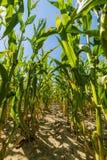 Campo do milho ou do milho que cresce acima no céu azul Foto de Stock Royalty Free