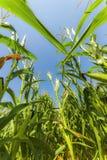 Campo do milho ou do milho que cresce sobre nos raios do sol Foto de Stock