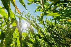 Campo do milho ou do milho que cresce sobre nos raios do sol Imagem de Stock