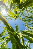Campo do milho ou do milho que cresce sobre nos raios do sol Imagens de Stock Royalty Free